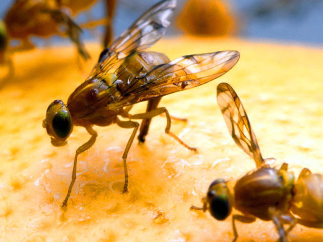 How To Get Rid Of Fruit Flies and Gnats?